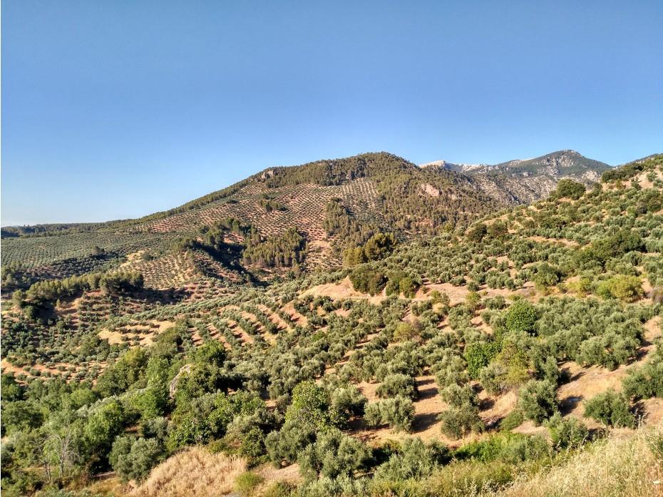 """La Denominación de Origen """"Sierra de Segura"""" inicia el control contra la mosca del olivo junto a 28 almazaras y 9.000 agricultores."""