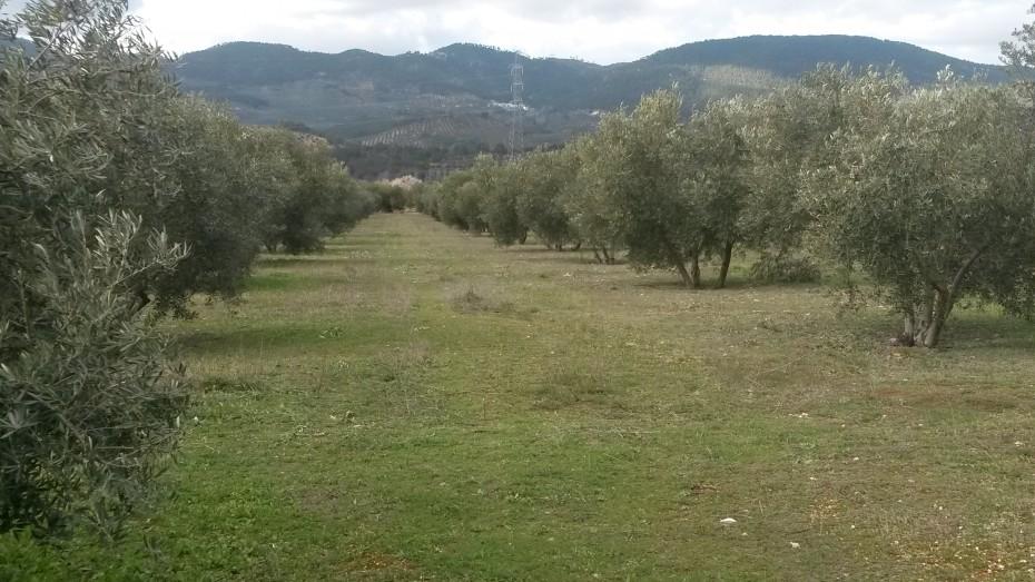 """La DO """"Sierra de Segura"""" apunta que la falta de lluvia y las elevadas temperaturas en el pasado otoño pueden haber afectado a la cosecha de cara a la próxima campaña"""