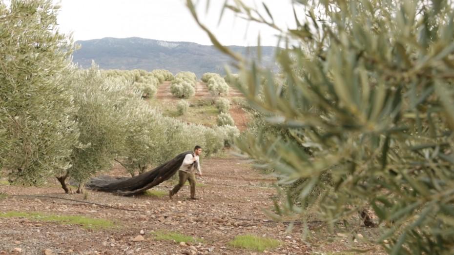 La Denominación de Origen Sierra de Segura producirá cerca de 30 millones de kilos de aceite de oliva en la campaña 16/17