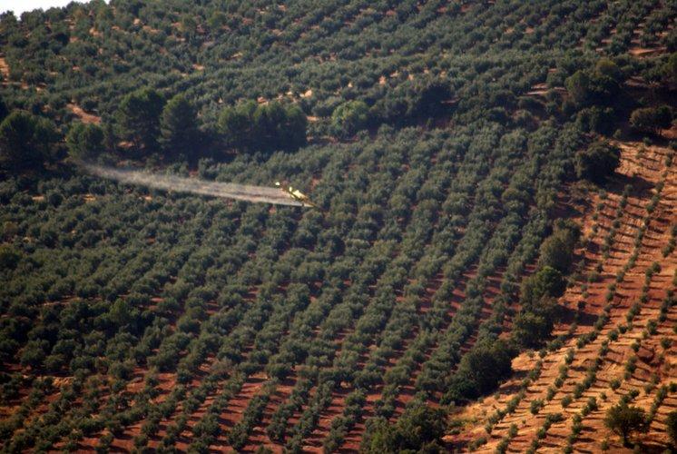 """La DO """"Sierra de Segura"""" comienza los tratamientos de control de la plaga de la mosca del olivo"""