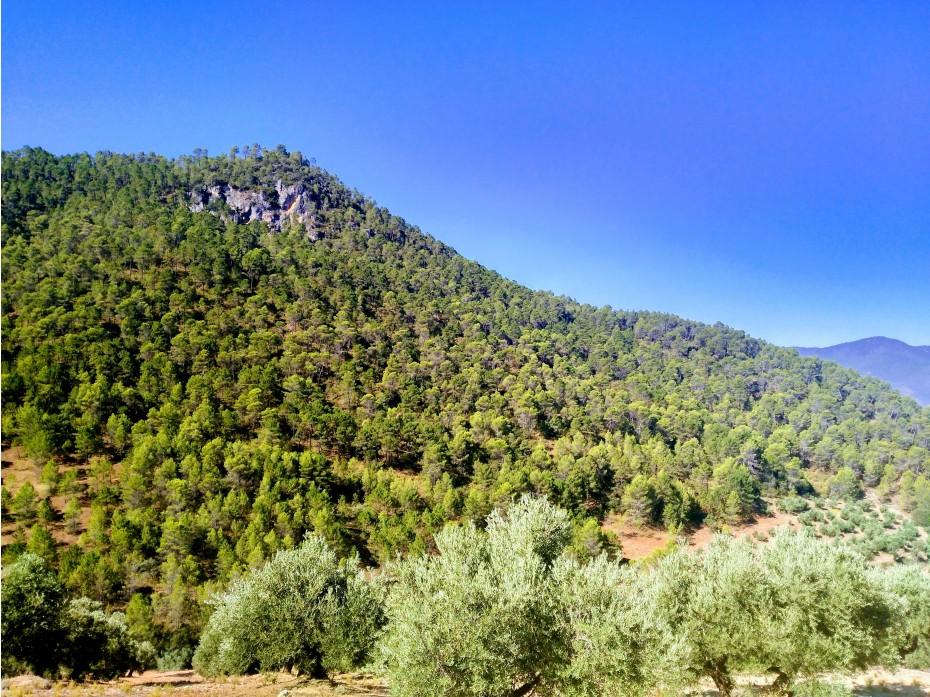"""La Denominación de Origen """"Sierra de Segura"""" aprueba el control contra la mosca del olivo para esta campaña 17/18"""