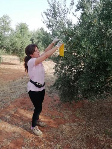"""La Denominación de Origen """"Sierra de Segura"""" se prepara para la lucha contra Plaga de la mosca del olivo  campaña 18/19"""